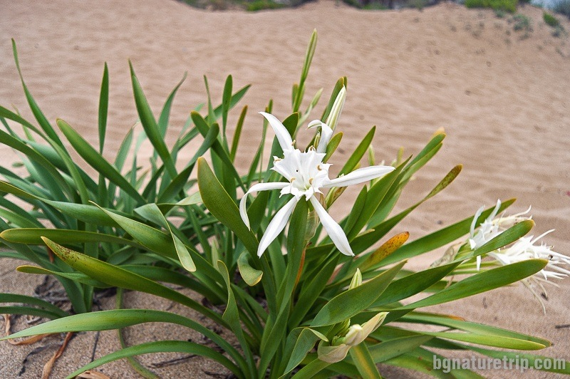 Sea daffodil (Pancratium Maritimum). It is a protected species under the Biological Diversity Act of Bulgaria. Flowering is in July.