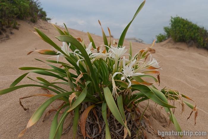 Sea daffodil - Pancratium Maritimum