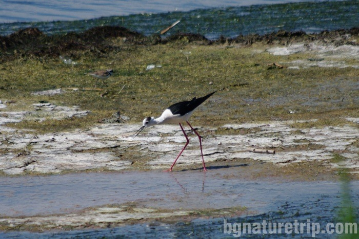 Black-winged stilt  (Himantopus himantopus) that was photographed meters from the visitor building