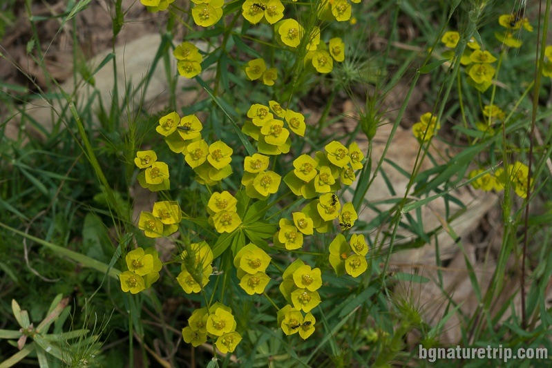 Cypress spurge (Euphorbia cyparissias).