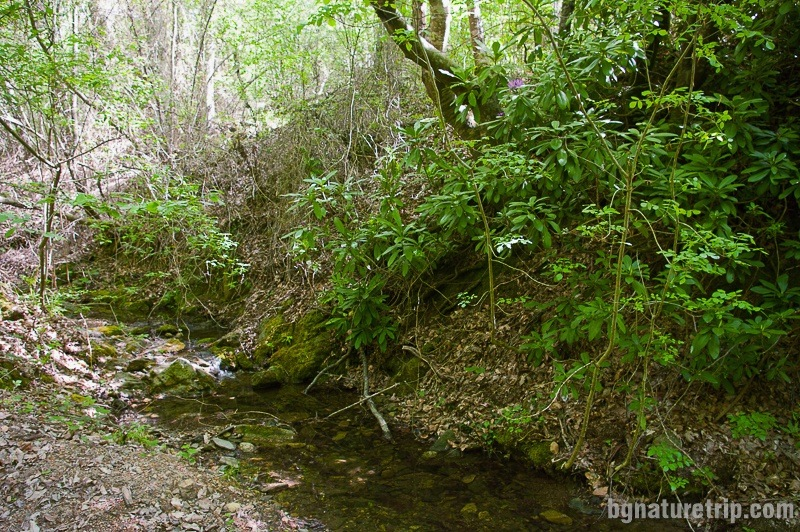 Another stream with Rhododendron ponticum