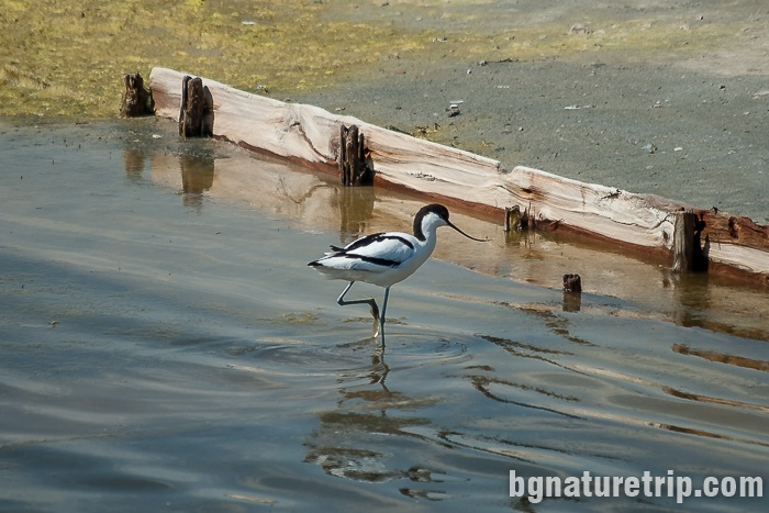 Pied avocet is looking for food