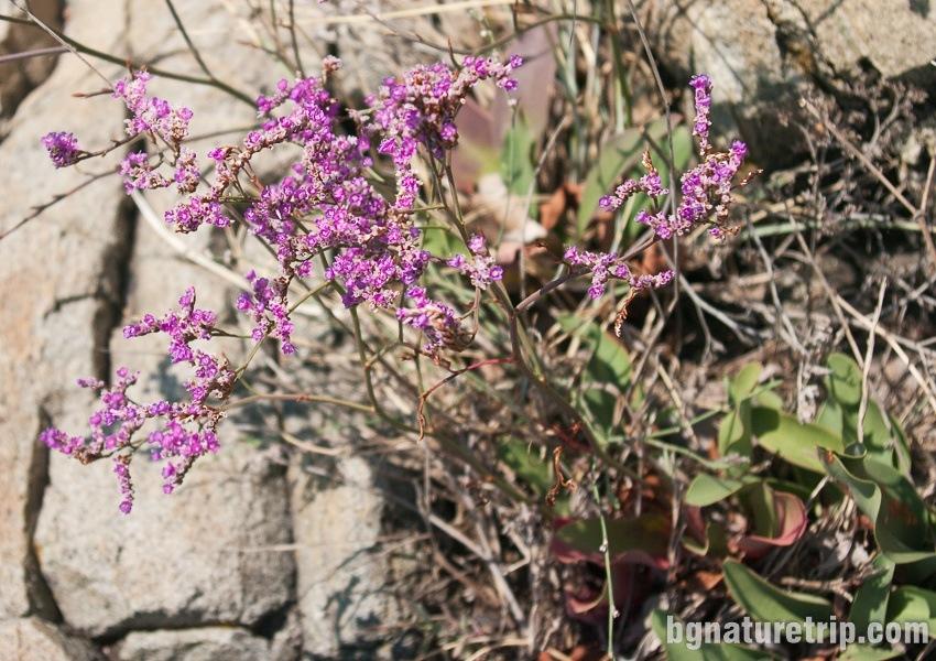 Plumbaginaceae (Limonium gmelini)