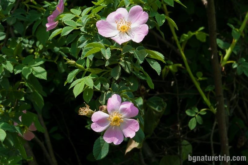 Wild rose (Rosa Blanda)