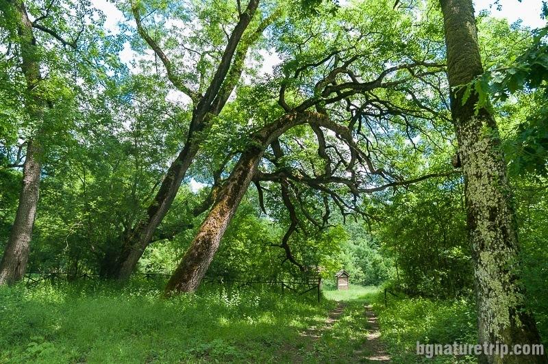 Strandzha oaks
