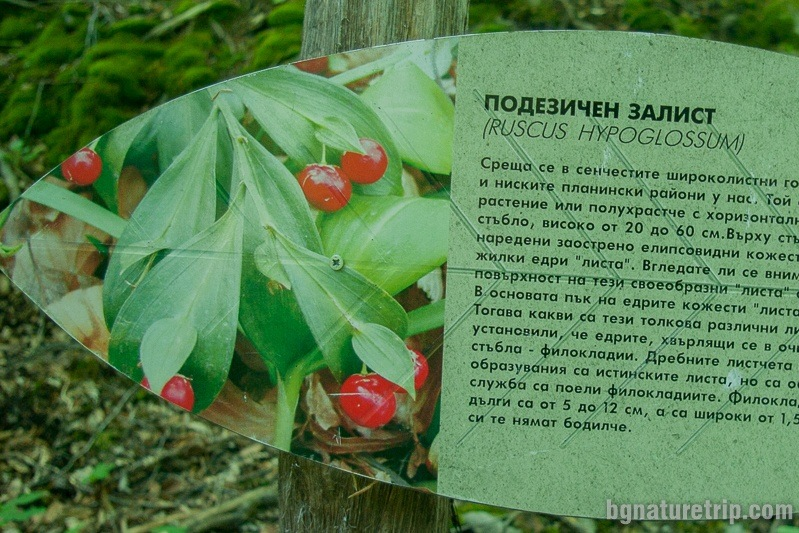 Mouse thorn (Ruscus hypoglossum) information board